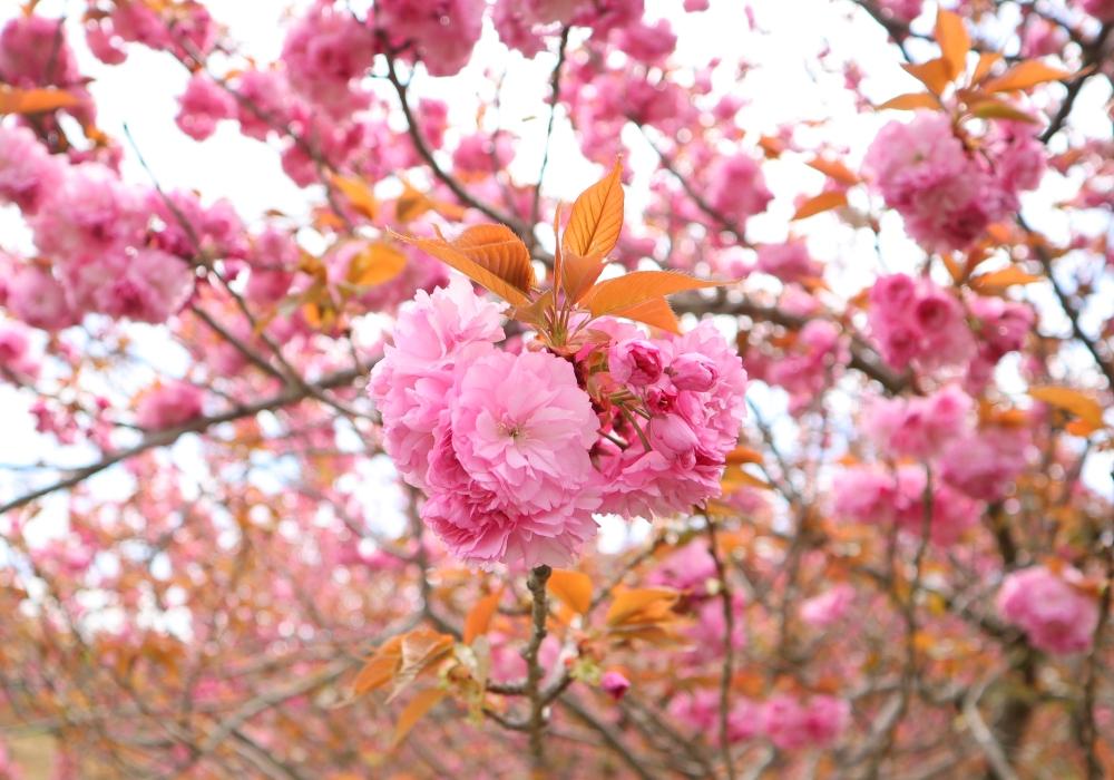 桜の花 取材