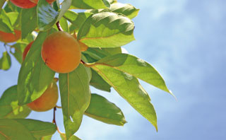 柿の葉のイメージ