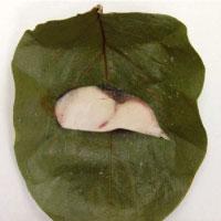 柿の葉寿司の巻き方 手順1