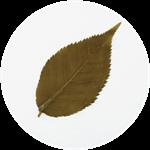 桜の葉(茶色) 表