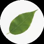 桜の葉(緑) 表