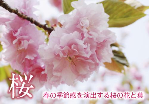 桜の花・葉